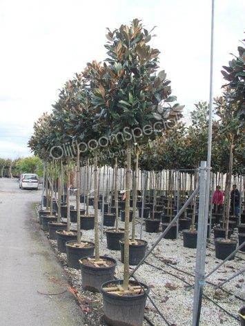 magnolia grandiflora produkt information magnolia grandiflora magnolia grandiflora spezialist. Black Bedroom Furniture Sets. Home Design Ideas