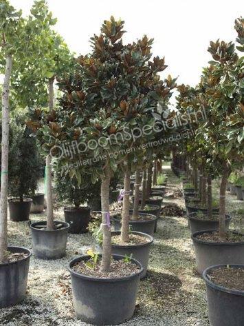 magnolia grandiflora produkt information magnolia. Black Bedroom Furniture Sets. Home Design Ideas