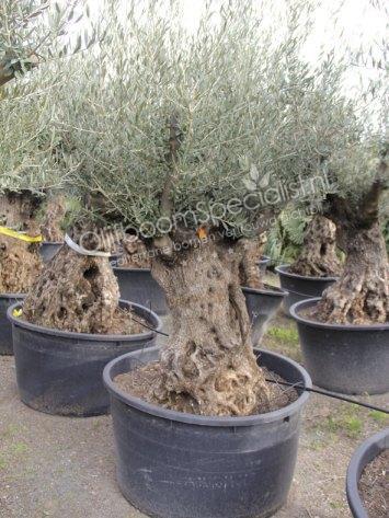 olivenbaum produkt information winterharter olivenbaum. Black Bedroom Furniture Sets. Home Design Ideas