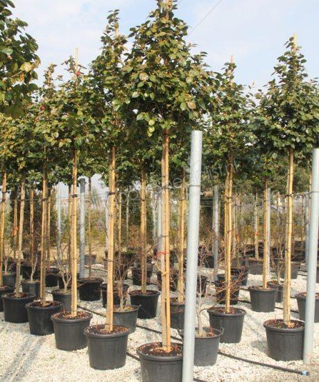 camelia japonica olivenbaum kaufen fur einen kultivierten olivenbaum bonsai olivenbaum oder. Black Bedroom Furniture Sets. Home Design Ideas