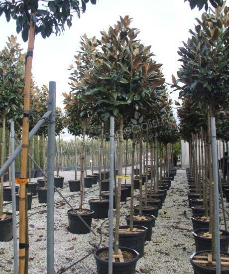 magnolia grandiflora gallisoniensis pyramidenf rmige. Black Bedroom Furniture Sets. Home Design Ideas