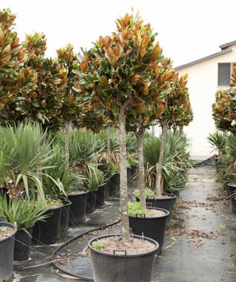 magnolia grandiflora gallisoniensis nana magnolia. Black Bedroom Furniture Sets. Home Design Ideas