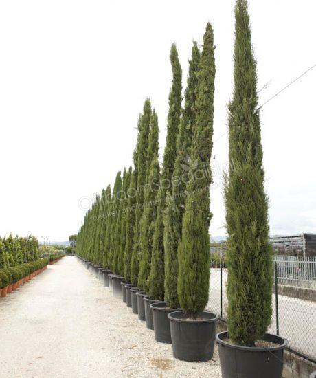 cupressus sempervirens 39 bolgheri 39 olivenbaum kaufen fur einen kultivierten olivenbaum bonsai. Black Bedroom Furniture Sets. Home Design Ideas