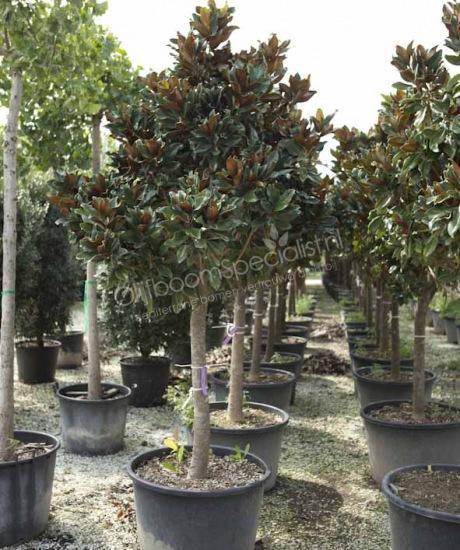 magnolia grandiflora gallisoniensis nana magnolia grandiflora productinformatie magnolia. Black Bedroom Furniture Sets. Home Design Ideas