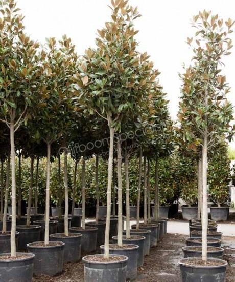 magnolia grandiflora gallisoniensis pyramidenf rmige krone magnolia grandiflora. Black Bedroom Furniture Sets. Home Design Ideas