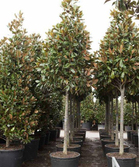 magnolia grandiflora gallisoniensis pyramidenf rmige. Black Bedroom Furniture Sets. Home Design Ideas