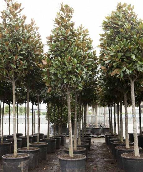 magnolia grandiflora gallisoniensis pyramidenf rmige krone magnolia grandiflora. Black Bedroom Furniture Sets. Home Design Ideas