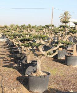 Olivenbaum Sortimentsübersicht | Olivenbaum | Olivenbaum