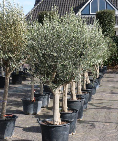 Berühmt Olivenbaum | Olivenbaum Produkt Information | Winterharter @AS_04